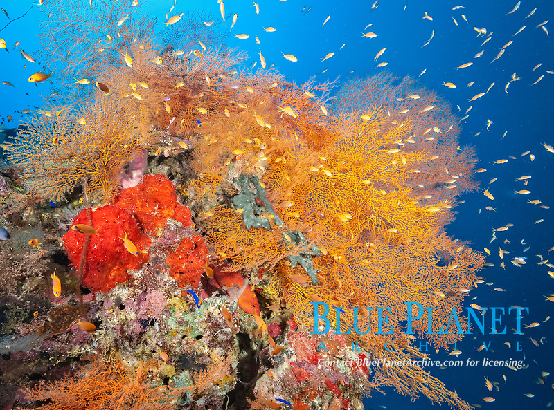 coral reef scene with soft corals, sea fans, gorgonians, sponges and schooling sea goldie anthias, Pseudanthias squamipinnis, Port Sudan, Sudan, Red Sea, Indian Ocean