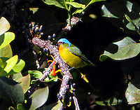 Female elegant euphonia
