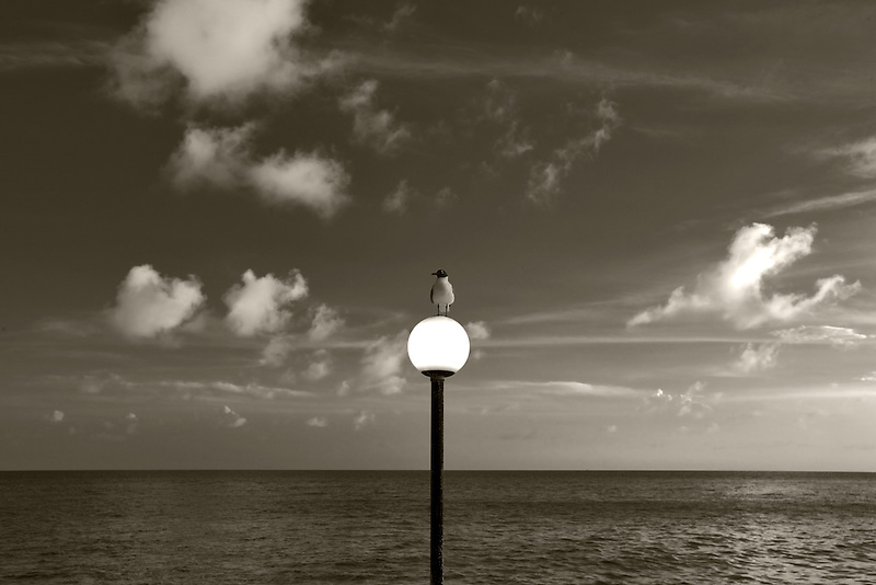 Venezuelan Laughing Gull on lightpost in Charlotte Amalle. St. Thomas. US Virgin Islands