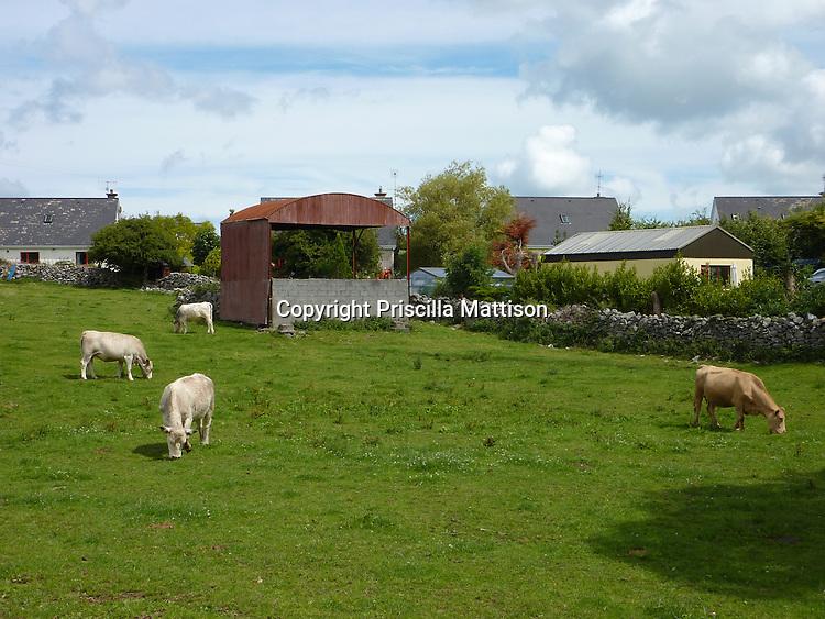 Kinvara, Republic of Ireland - July 17, 2010:  Cows graze in a field in a town.