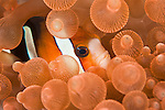 Clarke's anemonefish (Amphiprion clarkii) in bulb sea anemone (Entacmaea quadricolor).