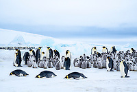 Snow Hill Island, Antarctica. Scenic emperor penguin colony with chicks.