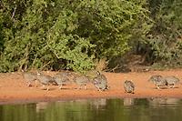 Northern Bobwhite (Colinus virginianus), group drinking at pond, Rio Grande Valley, South Texas, Texas, USA