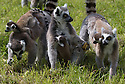 """16/05/16<br /> <br /> """"Don't be scared -  we'll be here to help you."""".<br /> <br /> Three baby ring-tail lemurs began climbing lessons for the first time today. The four-week-old babies, born days apart from one another, were reluctant to leave their mothers' backs to start with but after encouragement from their doting parents they were soon scaling rocks and trees in their enclosure. One of the youngsters even swung from a branch one-handed, at Peak Wildlife Park in the Staffordshire Peak District. The lesson was brief and the adorable babies soon returned to their mums for snacks and cuddles in the sunshine.<br /> All Rights Reserved F Stop Press Ltd +44 (0)1335 418365"""