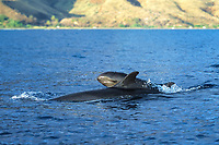 Mother and calf False-killer Whales (Pseudorca crassidens) surfacing along the west coast of Maui, Hawaii. Pacific Ocean