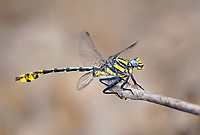 334250013 a wild male tamaulipan clubtail dragonfly gomphus gonzalezi perches on a dead stick near the naba site along the rio grande river hidalgo county texas united states