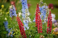 Lupines. Schreiner's Iris Gardens. Oregon