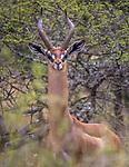 Kenya, Chyulu Hills National Park,gerenuk (Litocranius walleri)