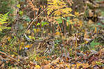 Ruffed grouse