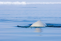 beluga whale, Delphinapterus leucas, swims through an open lead in the pack ice during spring migration, Chukchi Sea, Barrow, Arctic Alaska