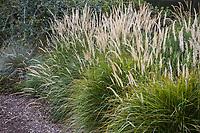 Pennisetum orientale 'Fairy Tales' flowering bunch grass in David Fross California winter meadow garden