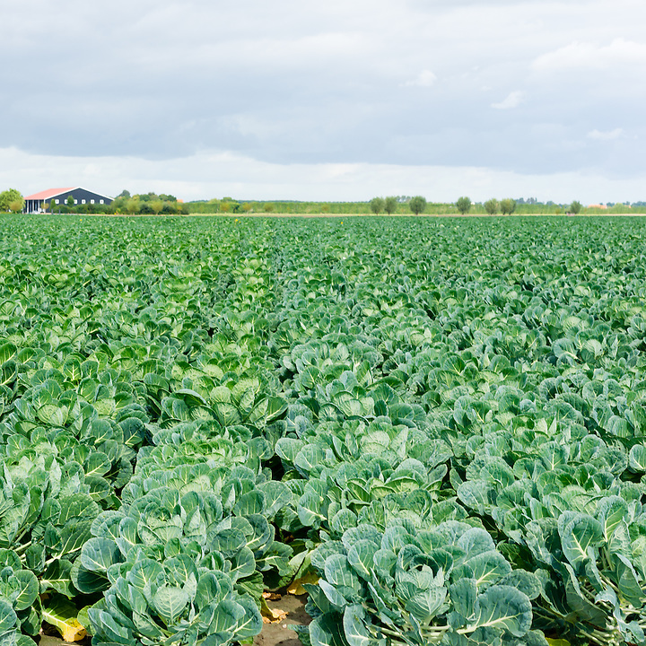 Farmland filled with young brussels sprout