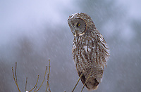 Great Gray Owl (Strix nebulosa) hunting in  winter snowfall. Ontario, Canada.