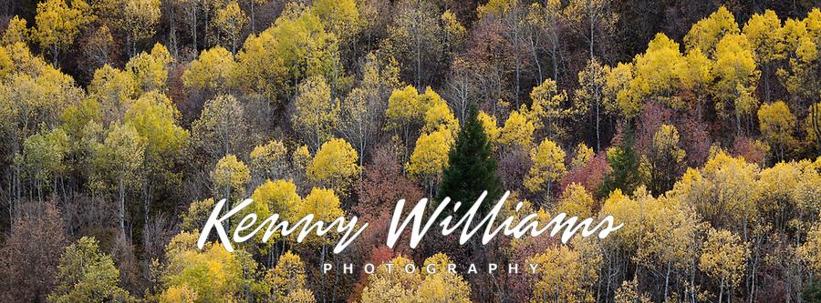 Aspen Trees in Golden Yellow Autumn Fall Colors, Unita National Forest, Utah, USA.