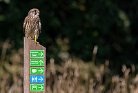 BNPS.co.uk (01202 558833)<br /> Pic: Martin Buckley/BNPS<br /> <br /> Pictured: The kestrel looking out for a meal<br /> <br /> These amazing photos capture the moment a kestrel feasts on a dragonfly it has just snared at a nature reserve.<br /> <br /> The majestic bird hovered above the colourful insect for several seconds before diving down into the long grass.<br /> <br /> It reemerged with it between its talons and flew off to 'enjoy its capture' in Eastbrookend Country Park, in Dagenham, Essex.
