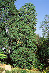Tropical Tree, Dombeya cacuminum at Huntington Gardens