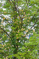 Rosa banksiae 'Lutea' yellow flowered climbing rose vine growing in Japanese maple Acer tree for support, rambling rose