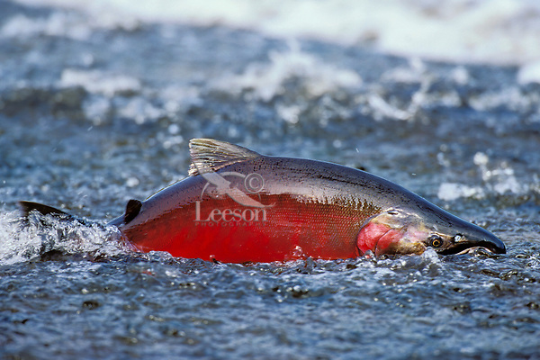 Lx381  Silver Salmon or Coho Salmon male--spawning color--during spawning migration up river.  Pacific Northwest.