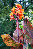 Canna Tropicanna orange flower, summer flowering bulb and variegated red and orange bold foliage