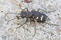 Northern Dune Tiger Beetle {Cicindela hybrida} female. Julian Alps, Slovenia, July.
