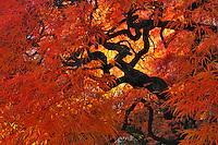Lace leaf Japanese maple tree in garden in Portland, Oregon