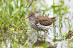 Spotted sandpiper - breeding plumage
