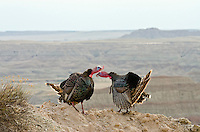 "Two wild turkey (Meleagris gallopavo) gobblers having a dominance conflict during spring mating season in ""badlands"" of South Dakota."