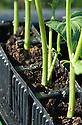 Runner bean seedlings growing in modules, mid June.