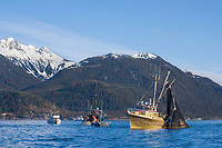Cape purse seine commercial fishing vessel Delta Dawn uses a trans vac to transfer netted pacific herring from the purse to the boat hold during the first 2006 Sitka Sac Roe Herring fishery opener on the north side of Middle island in Sitka Sound, March 2006.