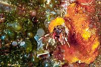 Sedentary Hermit Crab, Calcinus tubularis, Dubrovnik, Croatia, Adriatic Sea, Mediterranean Sea, Atlantic Ocean