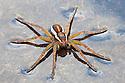 Raft Spider {Dolomedes fimbriatus} at edge of marsh pool, waiting to pick up vibrations from prey on water's surface. Naturpark Kaunergrat, Nordtirol, Tirol, Austian Alps, Austria. July.