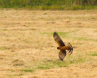 Northern Harrier Juvenile in flight with wings and tail spread flying low over grasses in the Ridgefield National Wildlife Refuge