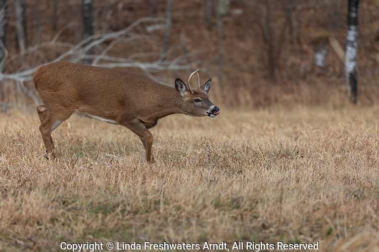 Young white-tailed buck chasing does during the rut in northern Wisconsin.