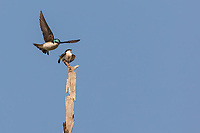 Adult Tree Swallow in flight landing on branch with a Juvenile Tree Swallow loooking up at adult