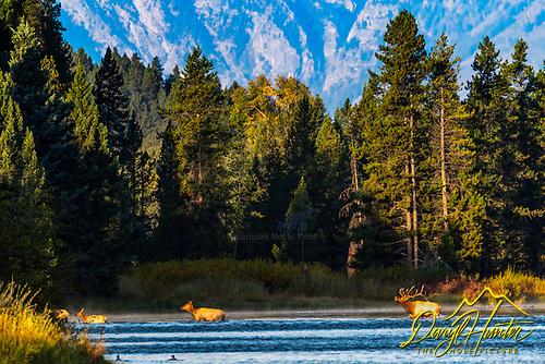 Elk heard during autumn rut.