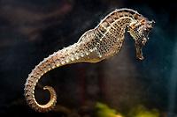 Pacific Ocean seahorse, Hippocampus ingens (c)