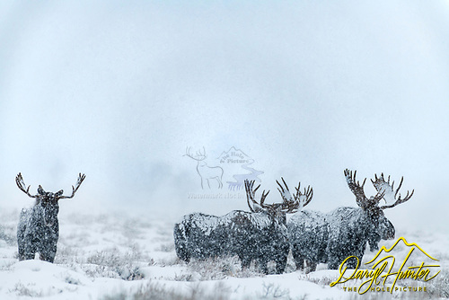 A herd of bull moose in a snowstorm