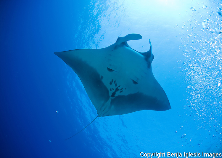Mantarays are easy identifiable by the pattern on their underbelly, Molokini Maui Hawaii.