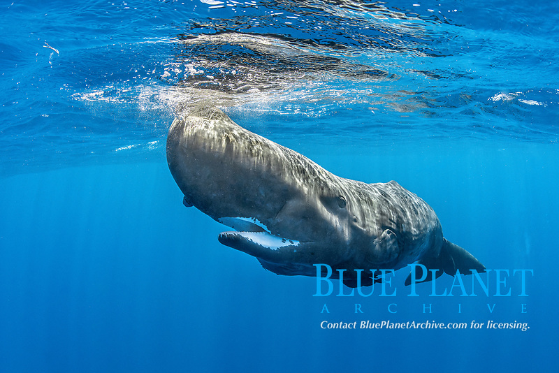 Sperm whale, Physeter macrocephalus, with open mouth The sperm whale is the largest of the toothed whales Sperm whales are known to dive as deep as 1,000 meters in search of squid to eat Image has been shot in Dominica, Caribbean Sea, Atlantic Ocean Photo taken under permit #RP 16-02/32 FIS-5