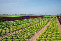 Outdoor leafy salads - Lincolnshire, August