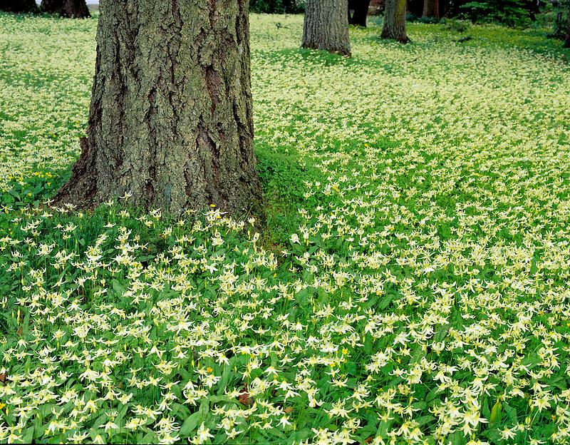 Avalanche Lilly (erythronium oregonium). Near Corvallis, Oregon.