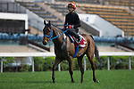 SHA TIN,HONG KONG-APRIL 25: Mongolian Saturday,trained by Ganbat Enebish,exercises in preparation for the Chairman's Sprint Prize at Sha Tin Racecourse on April 25,2016 in Sha Tin,New Territories,Hong Kong (Photo by Kaz Ishida/Eclipse Sportswire/Getty Images) Racecourse on April 25,2016 in Sha Tin,New Territories,Hong Kong (Photo by Kaz Ishida/Eclipse Sportswire/Getty Images)