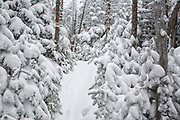 Snow covered softwood forest along the Hancock Loop Trail in the White Mountains, New Hampshire during the winter months.