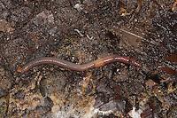 Regenwurm, Regen-Wurm, Wurm, Tauwurm im feuchten Waldboden, Boden, Humusschicht
