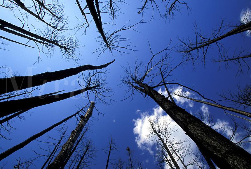 Trees remain standing after forest fire. Chugach National Forest, Kenai Peninsula, Alaska.