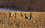 Whitetail does and fawns in a cut cornfield.