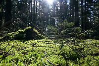 GERMANY, lower saxonia, Forest / DEUTSCHLAND, Niedersachsen, Wald, Waldpflanzen, Moos, junge Tanne