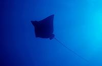 Spotted Eagle Ray (Aetobatus narinari) cruising in blue waters.