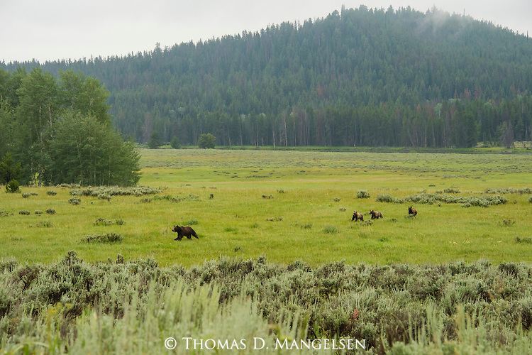 Grizzly 610 runs across a meadow, trailed by her cubs, hunting elk in Willow Flats in Grand Teton National Park, Wyoming.