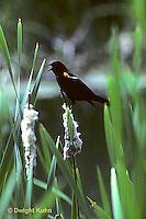 BL02-001z  Red-winged Black Bird - on cattail - Agelaius phoeniceus